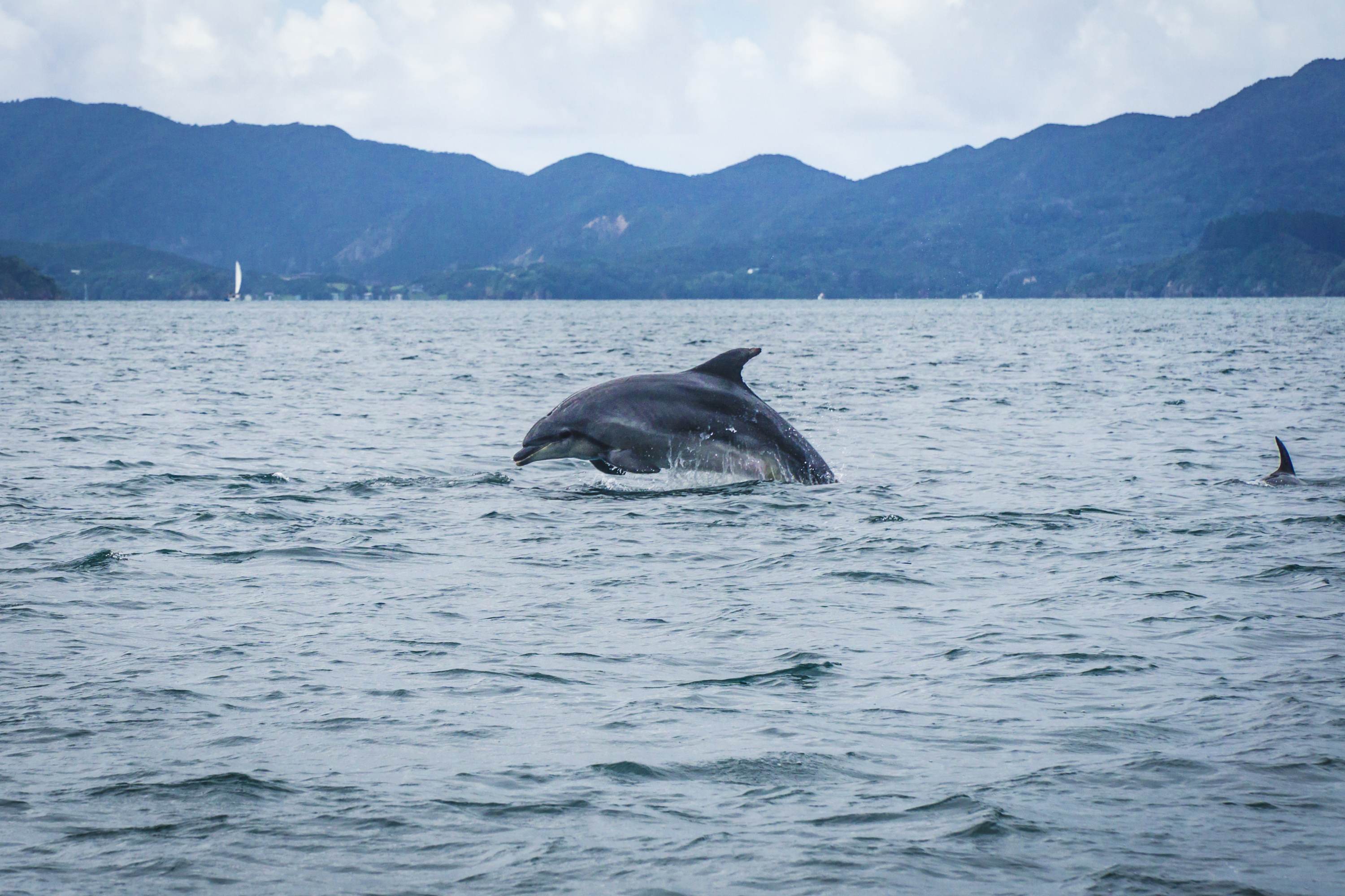 bay of islands- dolphin2